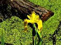 Żółci irysy Fotografia Stock
