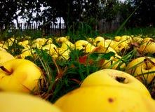 Żółci jabłka Obrazy Stock