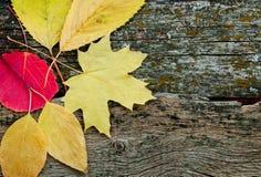 Żółci jesień liście Fotografia Royalty Free
