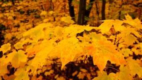 Żółci jesień liście klonowy zdjęcie wideo