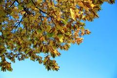 Żółci jesień liście na gałąź przeciw niebieskiemu niebu Zdjęcie Royalty Free