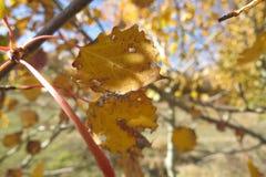 Żółci jesień liście na jaskrawym niebieskiego nieba tle Zdjęcie Stock