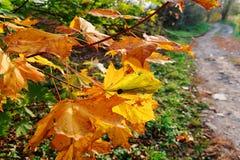 Żółci jesienni liście Fotografia Royalty Free