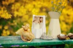 Żółci kaczątka zdjęcia stock