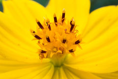Żółci kosmosy kwitną makro- w ogródzie Zdjęcie Royalty Free