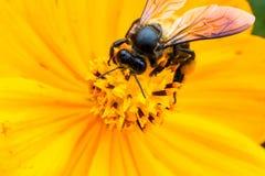 Żółci kosmosy kwitną makro- w ogródzie Fotografia Stock