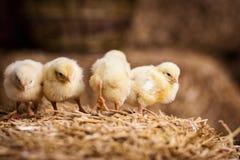 Żółci kurczaki na haystack, Mali Żółci kurczaki, Mały slee fotografia royalty free