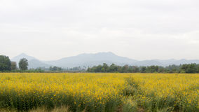 Żółci kwiatów pola Obrazy Stock