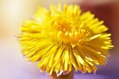 Żółci kwiaty coltsfoot 8 dodatków eps farfara formata tam tussilago wektor Obraz Royalty Free