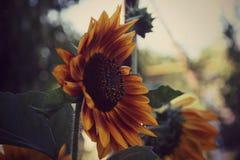 Żółci kwiaty, słonecznik Zdjęcia Stock