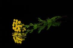 Żółci kwiaty tansy fotografia royalty free
