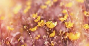 Żółci kwiaty w łące - jaskieru kwiat (wiosna) Obraz Royalty Free