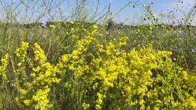 Żółci kwitnący wildflowers na letnim dniu zdjęcie wideo