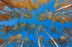 Żółci liście eukaliptusowy niebieskie niebo zdjęcie stock