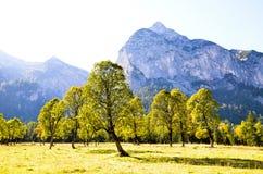 Żółci liście modrzew w Ahornboden, Tyrol (Austria) Fotografia Royalty Free