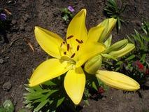 Żółci lilium pączki i kwiat, żółta dzień leluja Obraz Stock