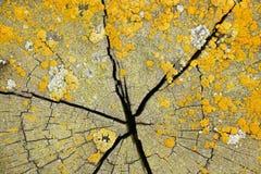 Żółci liszaje na krakingowym drewna cięciu Obraz Royalty Free