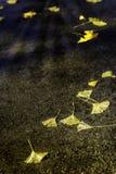 Żółci miłorzębu biloba liście Obraz Stock