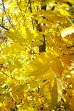 Żółci orzechów włoskich liście Obraz Royalty Free