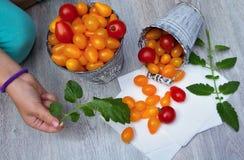 Żółci pomidory Zdjęcie Stock