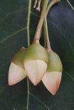 Żółci Portia kwiatu okwitnięcia fotografia stock