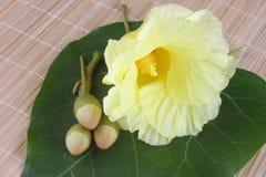 Żółci Portia kwiatu okwitnięcia obrazy royalty free