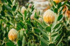 Żółci protea pincushion kwiaty, Leucospermum cordifolium w królewiątkach parki, Perth, WA, Australia Obraz Stock