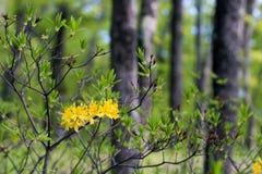 Żółci różaneczniki w wiosna lasowych kwitnących krzaków kolorowym b fotografia stock