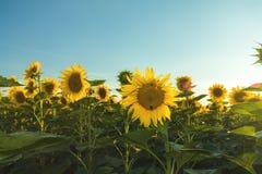 Żółci słoneczniki na śródpolnej ziemi uprawnej z błękitnym chmurnym niebem Zdjęcie Royalty Free