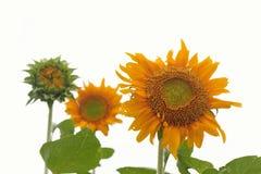 Żółci słoneczniki na białym tle Zdjęcia Stock