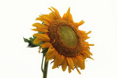 Żółci słoneczniki na białym tle Obrazy Stock