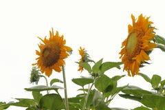 Żółci słoneczniki na białym tle Fotografia Royalty Free