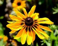 Żółty słonecznik Fotografia Royalty Free