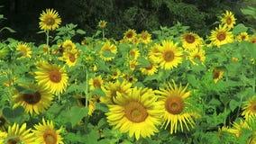 Żółci słoneczniki w pełnym kwiacie w lecie zbiory