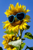Żółci słoneczniki z Kierowymi okularami przeciwsłonecznymi Zdjęcia Royalty Free