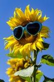 Żółci słoneczniki z Kierowymi okularami przeciwsłonecznymi Obrazy Royalty Free