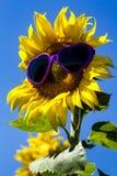 Żółci słoneczniki z Kierowymi okularami przeciwsłonecznymi Fotografia Royalty Free