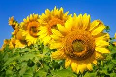 Żółci słoneczniki zostaje z rzędu i niebieskiego nieba tło Fotografia Royalty Free