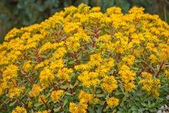 Żółci sedum kwiaty zdjęcia royalty free