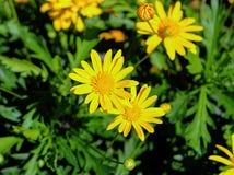 Żółci stokrotka kwiaty Zdjęcia Stock