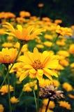 Żółci Tickseed Coreopsis kwiaty fotografia stock