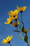 Żółci topinamburów kwiaty & x28; stokrotki family& x29; przeciw niebieskiemu niebu obraz royalty free