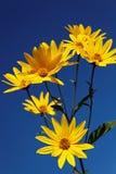 Żółci topinamburów kwiaty & x28; stokrotki family& x29; przeciw niebieskiemu niebu Obrazy Royalty Free