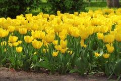 Żółci tulipany Zdjęcia Royalty Free