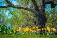 Żółci tulipany & Dębowy drzewo obraz stock
