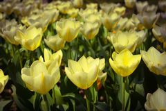 Żółci tulipany na łóżku, wiosna kwitną Fotografia Royalty Free