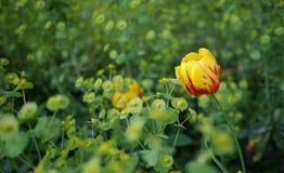 Żółci tulipany w wczesnej wiośnie Fotografia Royalty Free