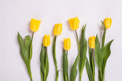 Żółci tulipany wewnątrz na białym tle Romantyczna kwitnienie karta dla ` s, Macierzystego ` s lub kobiety ` s urodziny, rocznicy, Zdjęcie Stock