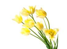 Żółci tulipany z różowym kranem Obraz Stock