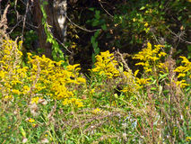 Żółci wildflowers Zdjęcia Stock